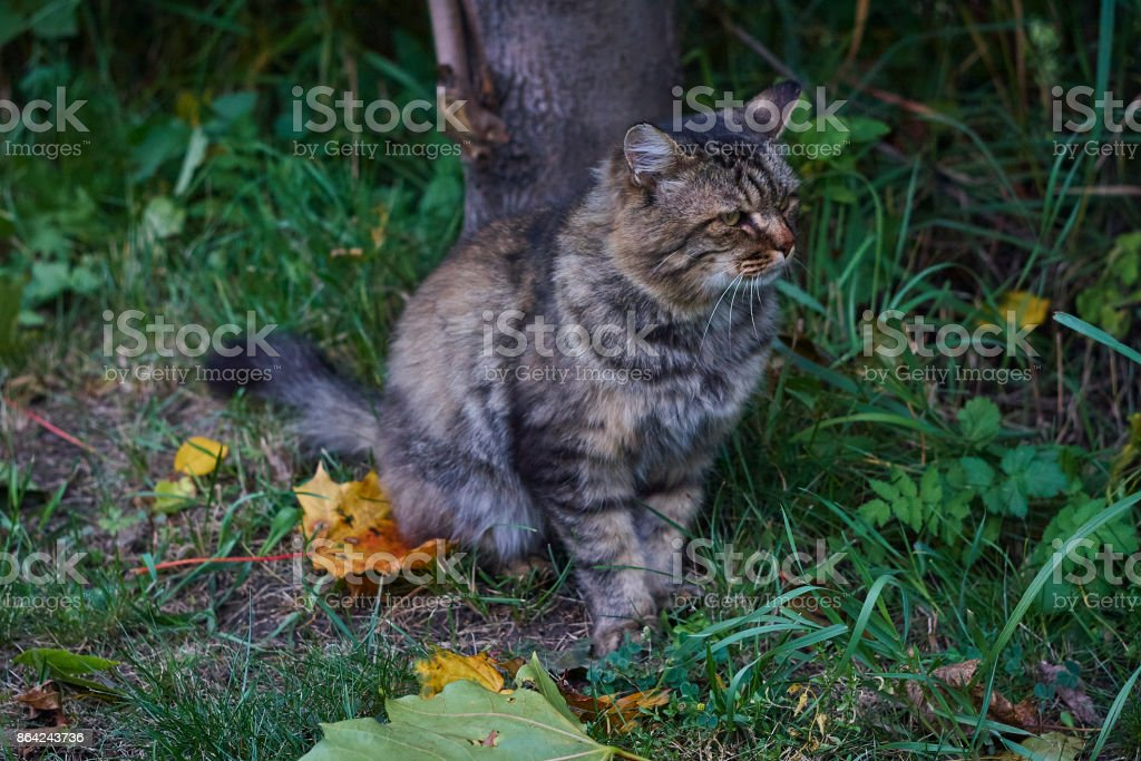 Siberian cat sideview in park close up royalty-free stock photo