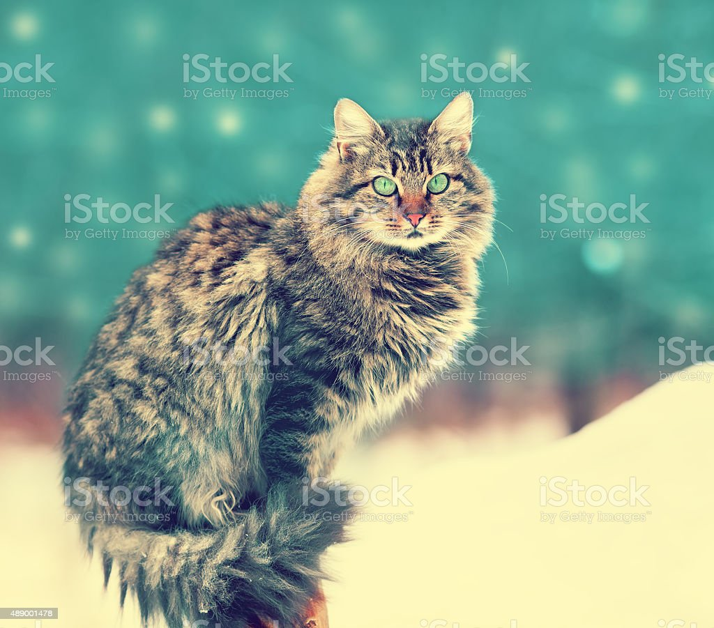 Siberian cat siting outdoors in snowy winter stock photo