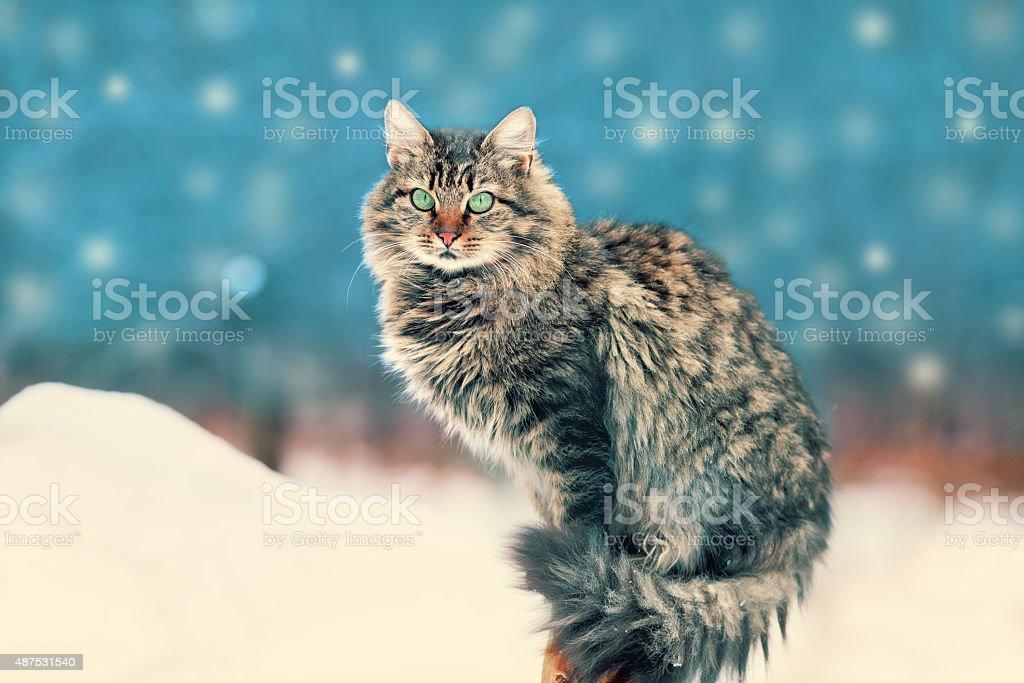 Siberian cat siting outdoors in winter at snowfall stock photo