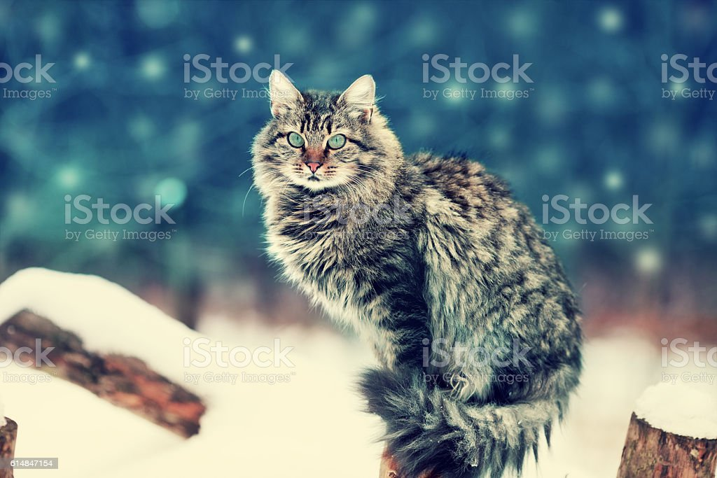 Siberian cat sitting in the garden in winter night stock photo