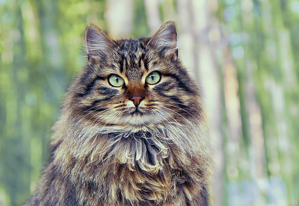 siberian cat sitting in the pine forest - сибирь стоковые фото и изображения