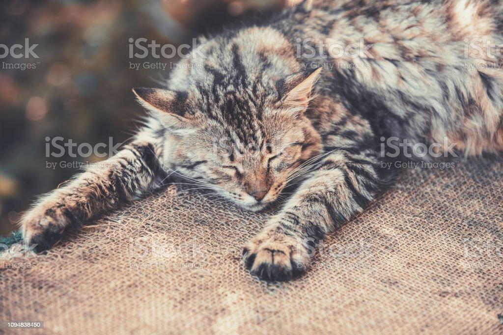 Sibirische Katze schläft auf Sackleinen im Hof – Foto