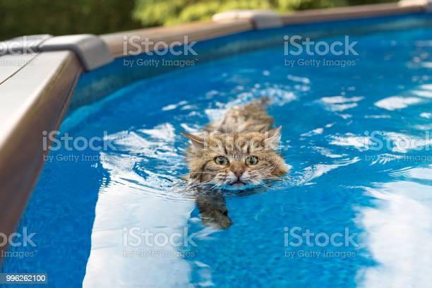 Siberian cat swimming in a pool picture id996262100?b=1&k=6&m=996262100&s=612x612&h=pjumwcvp3pbmkkxl07rttmnick84qfylzufsj yia98=