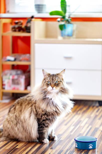 siberian cat waiting at his plate for food - lata comida gato imagens e fotografias de stock