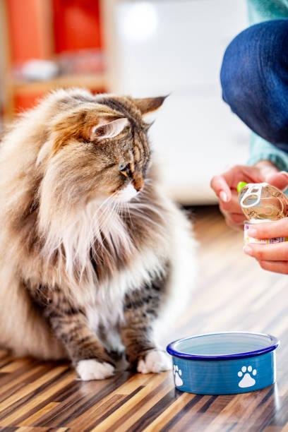 siberian cat waiting for his owner to put food on the plate - lata comida gato imagens e fotografias de stock