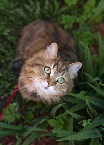 Siberian cat watching bird in tree picture id965705276?b=1&k=6&m=965705276&s=612x612&w=0&h=rrxi73ohyvcyh8cvbajl8htx92dijbjtjor3kxbi ys=