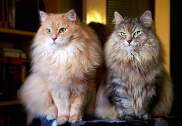 Siberian cats on a cat-tree Portrait of Cesare and Cleopatra, Siberian cats. female animal stock pictures, royalty-free photos & images