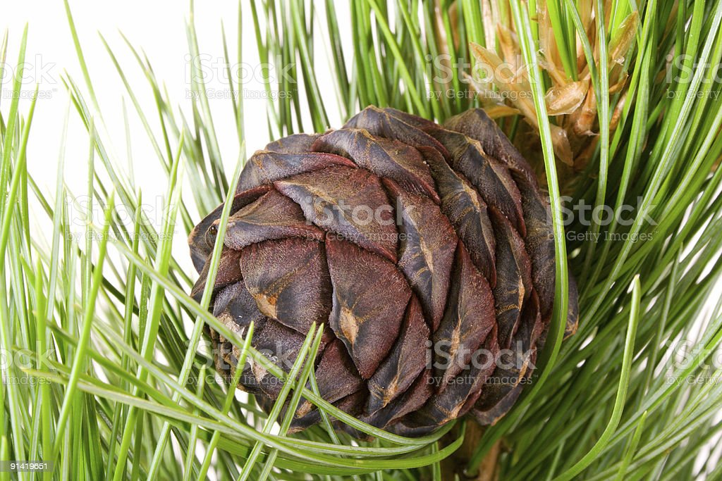siberian cedar branch with ripe cone royalty-free stock photo