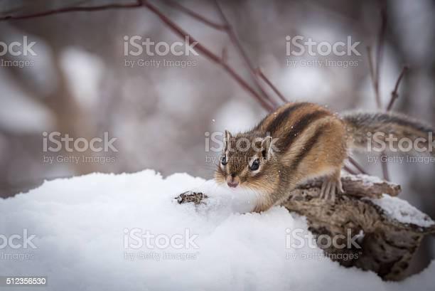 Photo of Siberian Chipmunk