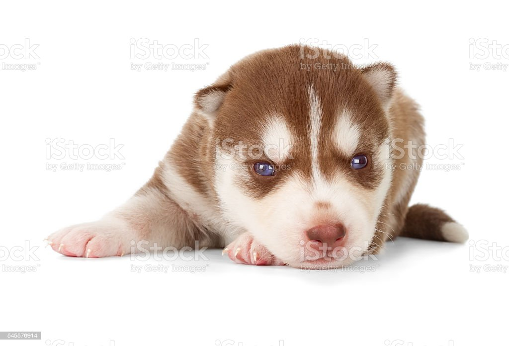 Siberian Cooper Red Husky Puppy Stock Photo Download Image Now Istock
