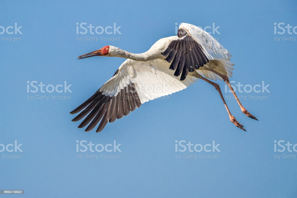 Siberian crane (Grus leucogeranus) in flight stock photo
