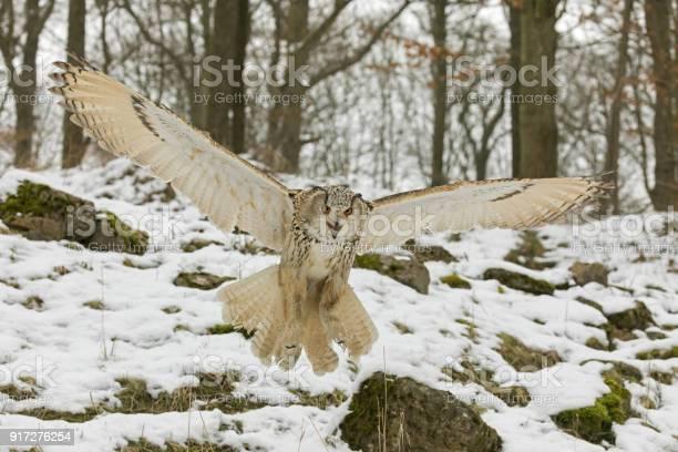 Siberian eagle owl hunting in winter picture id917276254?b=1&k=6&m=917276254&s=612x612&h=x6kfyb63urlriensjyxuuy9wjd6dububfoslox9umdg=