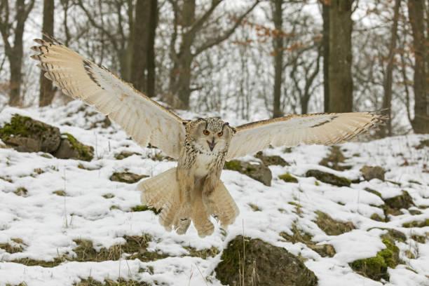 Siberian eagle owl hunting in winter picture id917276254?b=1&k=6&m=917276254&s=612x612&w=0&h=vpuvs 38mtwrt43ilqbdgrxgnbsdb7tpk1e9boggs8q=