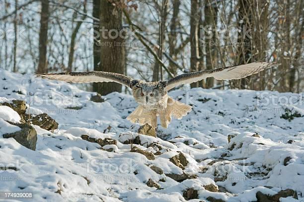 Siberian eagle owl in flight picture id174939008?b=1&k=6&m=174939008&s=612x612&h=6p7dgpphwnitqva4qlsnsb16y8srbvjf 48 wu udce=