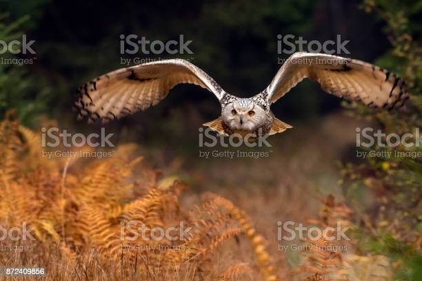 Siberian eagle owl in flight picture id872409856?b=1&k=6&m=872409856&s=612x612&h=qeqetymjsxqmhuswzd5d0zgirco pnz92bu4dk4dvnc=