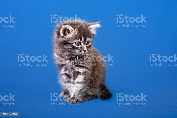 Siberian forest kitten picture id531128901?b=1&k=6&m=531128901&s=612x612&h=62xwwdoapmi iixo0xcx19whhuvthwfdtz8whxuzymo=
