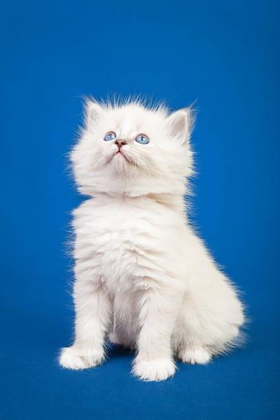 Siberian forest kitten picture id531630925?b=1&k=6&m=531630925&s=612x612&w=0&h=5maiitrzgjjb3ya0jzfrzlji6yowxur7zueay19uueg=