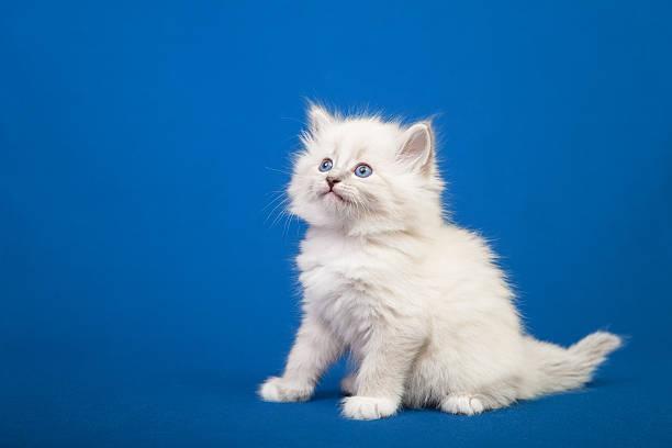 Siberian forest kitten picture id534602053?b=1&k=6&m=534602053&s=612x612&w=0&h=1hh othd0gaarjkhvfwritq3itg cszx9lrktk68g2i=