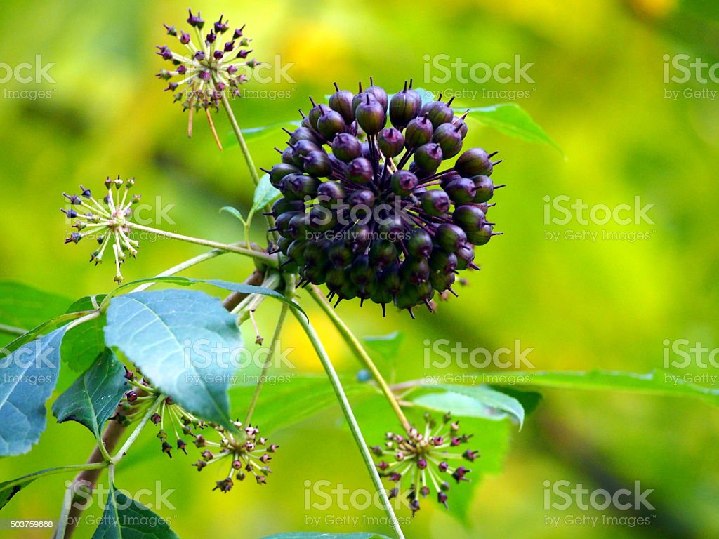 Siberian ginseng - Acanthopanax stock photo
