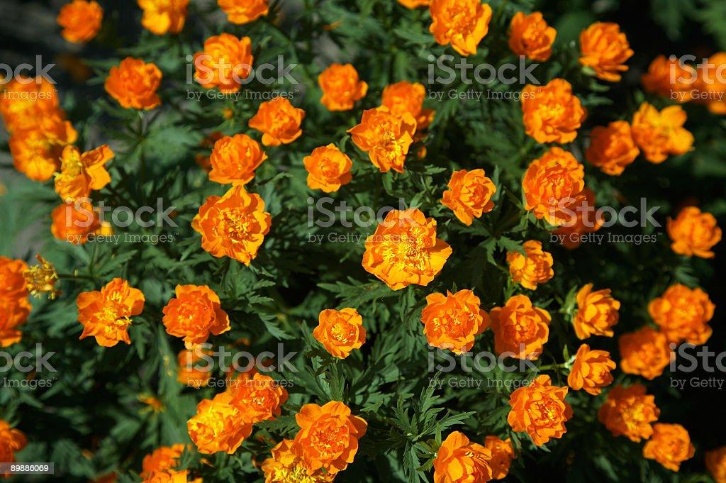 Siberian globeflower royalty-free stock photo