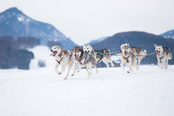 Siberian Huskies in a sleddog race Siberian Huskies racing together on cold snow in a sled dog race. husky dog stock pictures, royalty-free photos & images