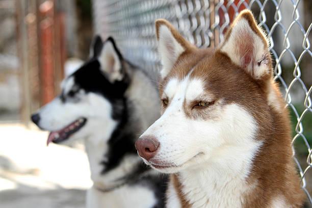Siberian huskies stock photo