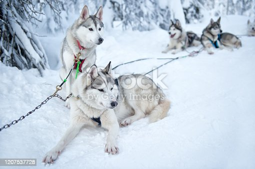 Finland, Lapland, Salla. February 2020. It is a day with good weather. The Siberian Huskies rest after pulling the dog sled through the snow in the beautiful snow landscape on the Arctic Circle.
