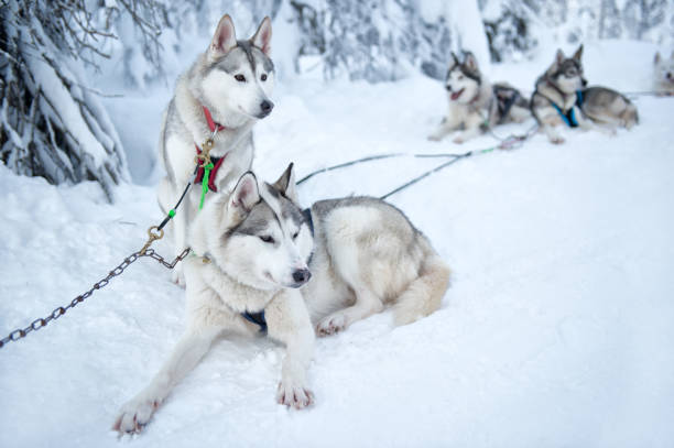 Siberian Huskies rusten Lapland Finland, Lapland, Salla. February 2020. It is a day with good weather. The Siberian Huskies rest after pulling the dog sled through the snow in the beautiful snow landscape on the Arctic Circle. husky dog stock pictures, royalty-free photos & images