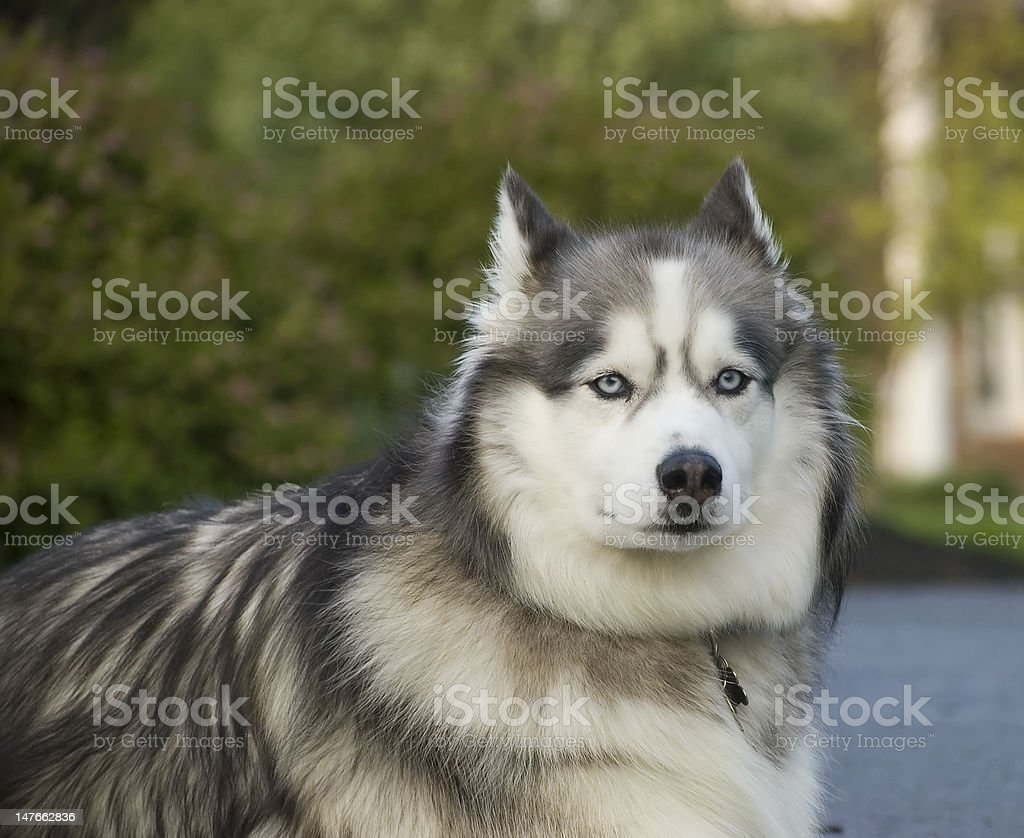 Siberian Husky 2 stock photo