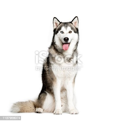 Siberian Husky, 9 months old, sitting in front of white background