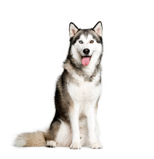 Siberian Husky, 9 months old, sitting in front of white background Siberian Husky, 9 months old, sitting in front of white background husky dog stock pictures, royalty-free photos & images