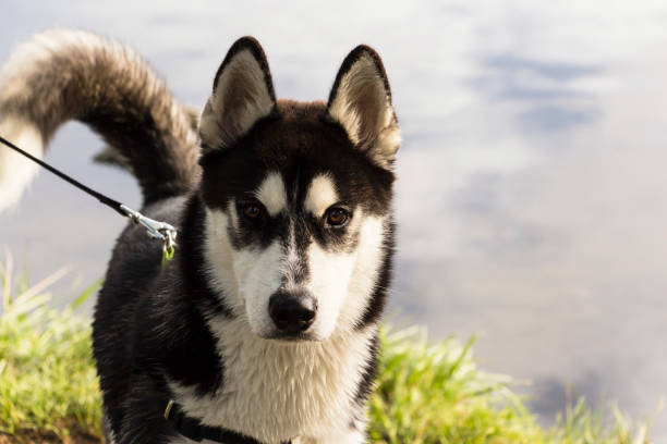 Siberian Husky black and white color in the Park on a summer day stock photo
