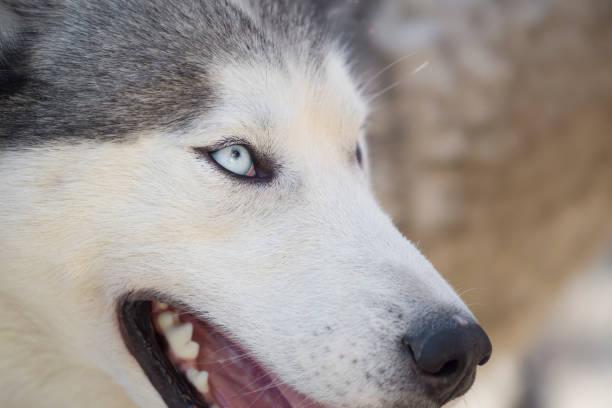 Siberian husky blue eye close up stock photo