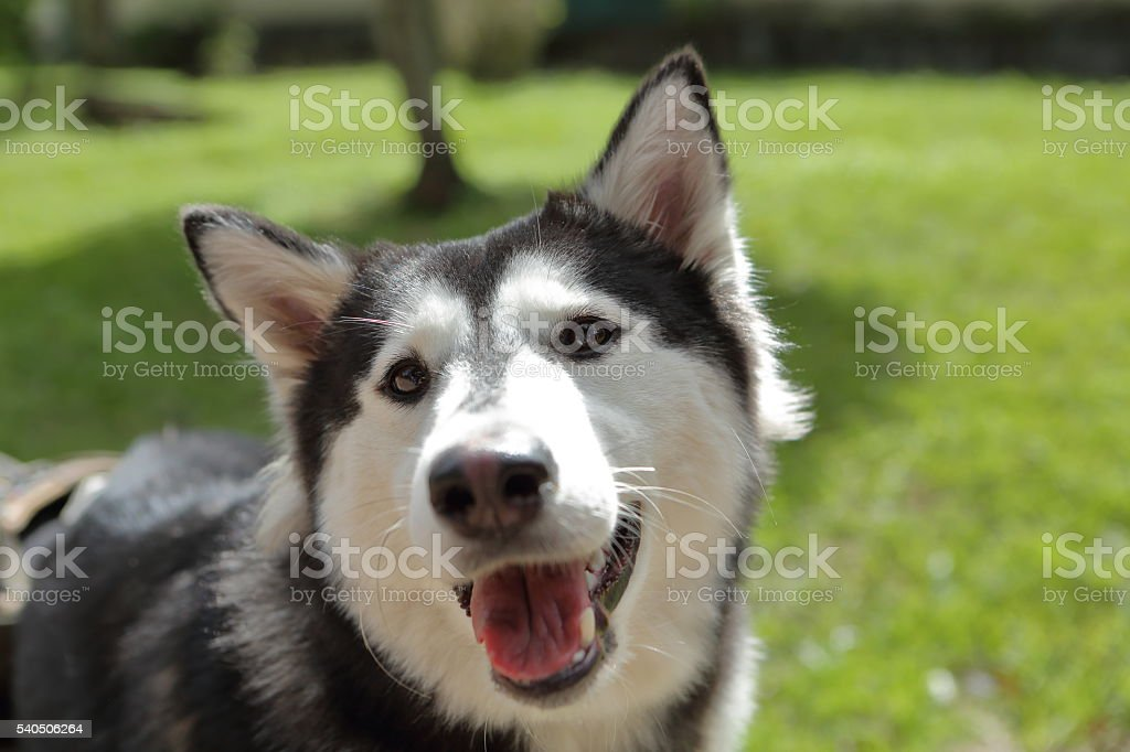 Siberian Husky Closeup Stock Photo More Pictures Of Animal Istock
