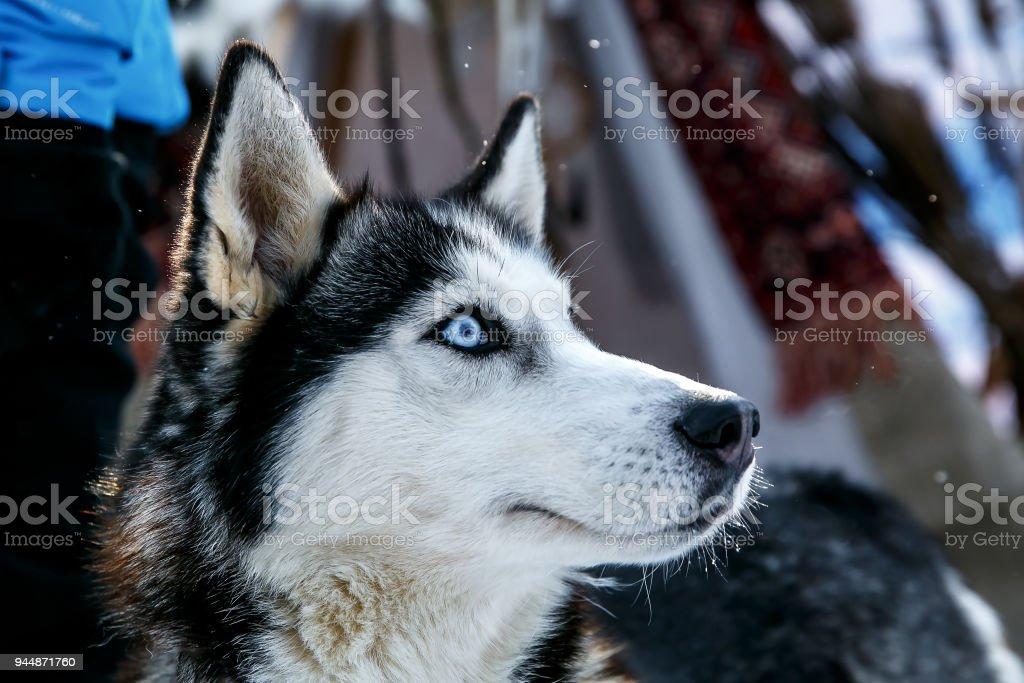 Siberian Husky Hund schwarze und weiße Farbe mit blauen Augen im winter – Foto