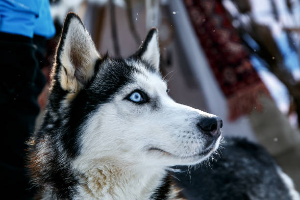Siberian Husky dog black and white colour with blue eyes in winter Siberian Husky dog black and white colour with blue eyes in winter. sled dog stock pictures, royalty-free photos & images