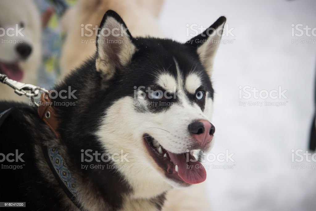 Siberian Husky Dog Black And White Colour With Blue Eyes Stock Photo