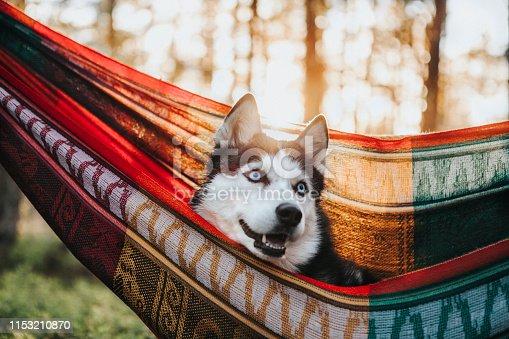 Siberian Husky dog in the hammock