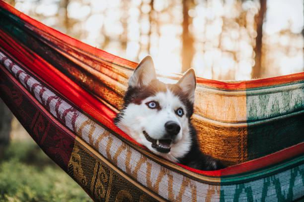 Siberischer Husky-Hund in Hängematte – Foto