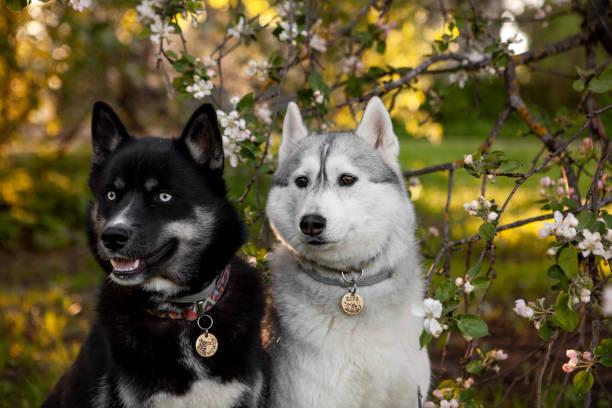 Sibirischer Husky-Hund im Apfelgarten – Foto