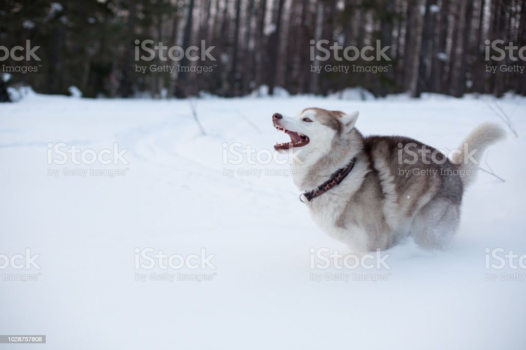 Siberian Husky Dog Is Running On The Snow In Winter Forest Stock