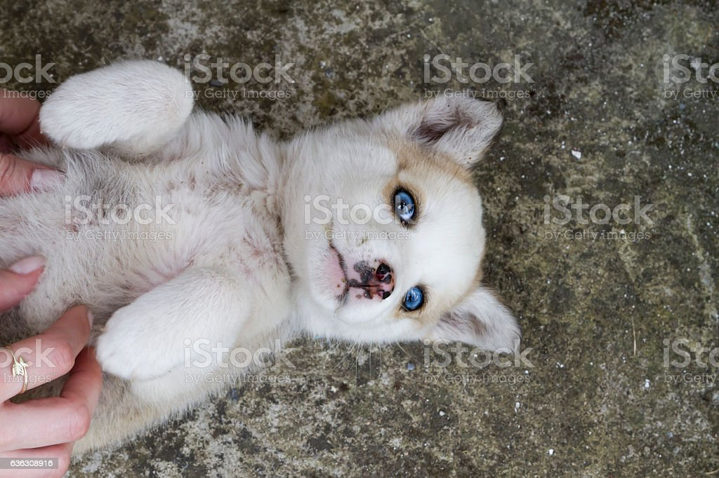 Siberian husky dog lying down with woman€™s hands tickling it. stock photo