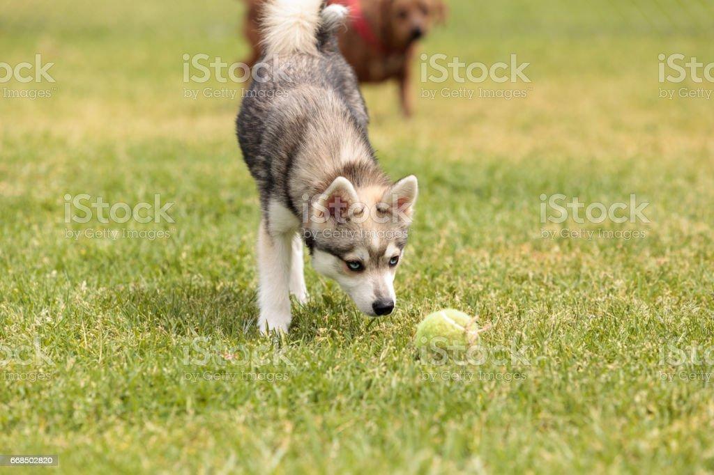Siberian Husky Dog Mix Stock Photo - Download Image Now - iStock