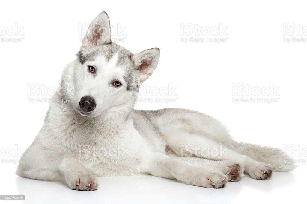 Siberian Husky dog on white background royalty-free stock photo