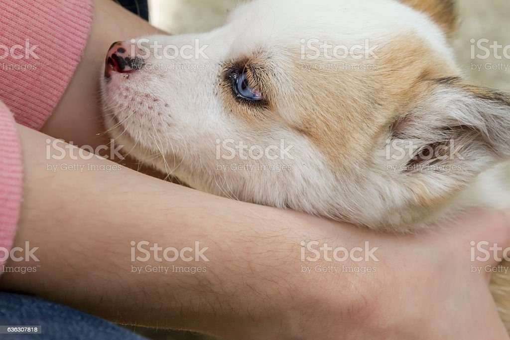 Siberian husky dog outdoors with woman€™s hands holding it. stock photo