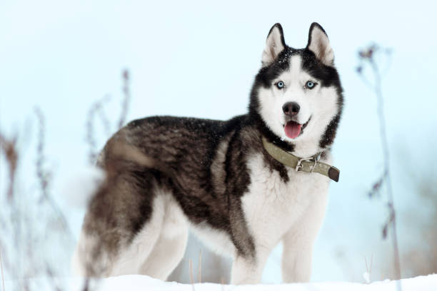 Siberian husky dog Portrait of Siberian Husky black and white colour with blue eyes outdoors in winter. A pedigreed purebred dog malamute stock pictures, royalty-free photos & images