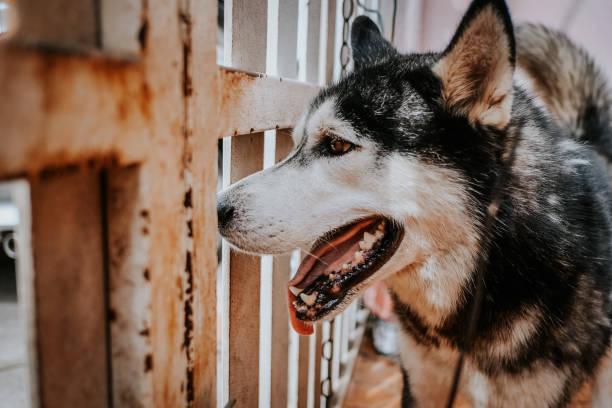 Cão husky siberiano - foto de acervo