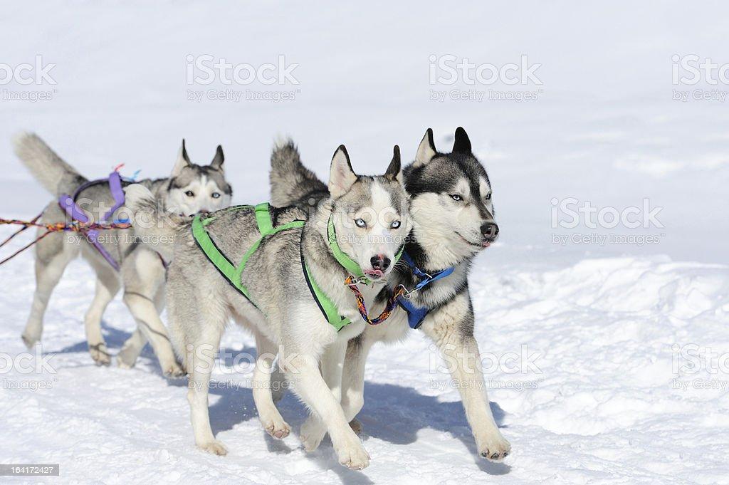 Siberian husky dog royalty-free stock photo