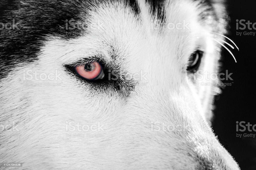 赤い 目 犬 の が