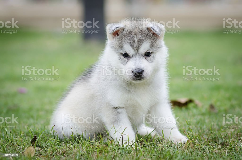 Siberian Husky Dog Puppy Stock Photo More Pictures Of Animal Istock